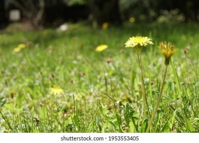 Yellow dandelion blooming in the field