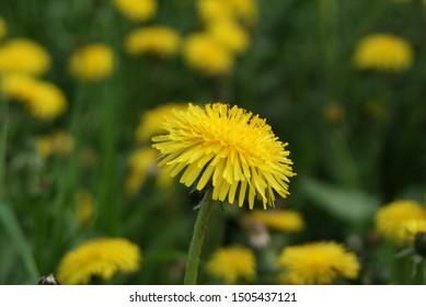 Yellow dandelion in the field