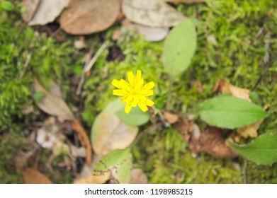 Yellow Dandelion flower - Asteraceae (Marche, Italy, Europe)