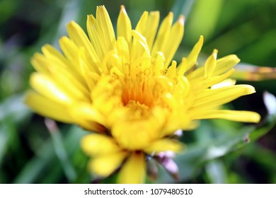 yellow dandelion flower close up