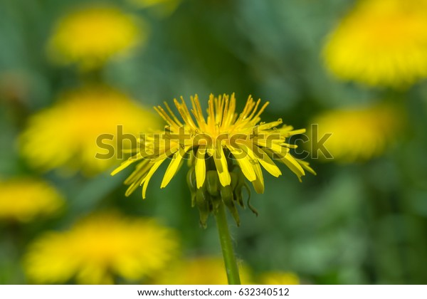 yellow dandelion flower in green grass. close-up. shallow depth of field