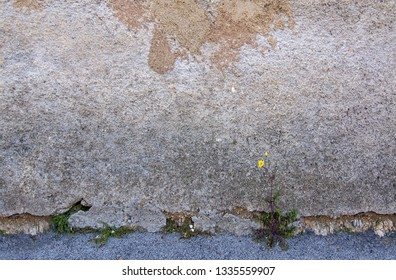 Yellow dandelion flower weed grows against all odds against rustic wall background texture, concept for success, effort, achievement.