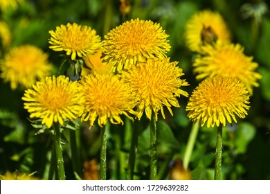 Yellow dandelion flowers. Blooming dandelion in a spring meadow.