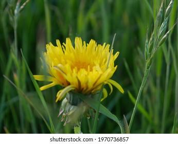 yellow dandelion flowers in the grass - Shutterstock ID 1970736857