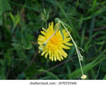yellow dandelion flowers in the grass - Shutterstock ID 1970737445