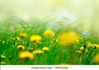 Yellow dandelion flowers in grass in spring wind close-up macro with soft focus on a meadow in nature. A beautiful soft light green background, a gentle dreamy artistic image.