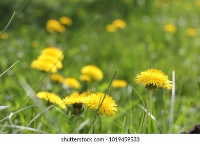 Yellow dandelion flowers in green grass