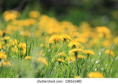 Yellow dandelion flowers in green grass, field of dandelions