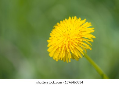 Yellow dandelion flowers in nature on meadow. Dandelions field on spring sunny day. Blooming dandelion on green background.