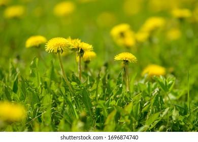 Yellow dandelion flowers (Taraxacum officinale). Dandelions field background on spring sunny day. Blooming dandelion. Medicinal wild herb.
