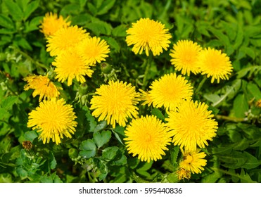 Yellow dandelion flowers or Taraxacum officinale on background of green leaves. Top view