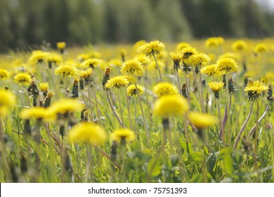 Yellow dandelion flowers (Taraxacum officinale) on a meadow