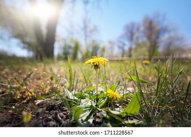 pissenlit jaune dans le jardin