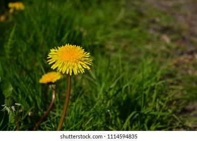 A yellow dandelion in a green field