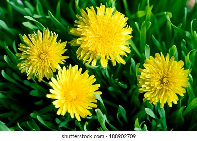 yellow dandelion and green grass