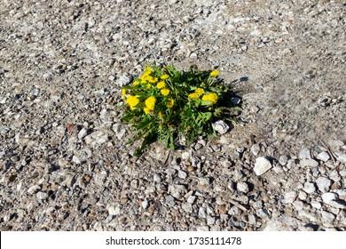 Ein gelber Kronleuchter wächst durch Beton.