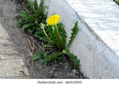 Yellow dandelion grows from concrete