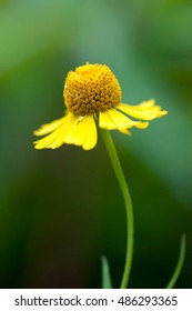 Yellow dandelion isolated in a garden
