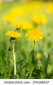 Yellow dandelion meadow