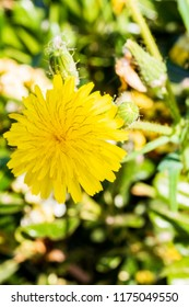 A yellow dandelion on the background of the green of a city park.