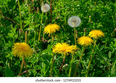 yellow dandelion on the field close-up. medicinal Taraxacum officinale flower on blurred green background. blowball on the field in the green grass