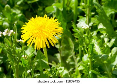 yellow dandelion on green grass