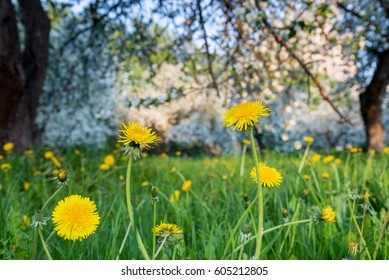 yellow dandelion on meadow in spring time