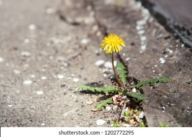 A yellow dandelion plant grows through a crack in a concrete, asphalt road. the flower grows through asphalt, fight for life. power and love