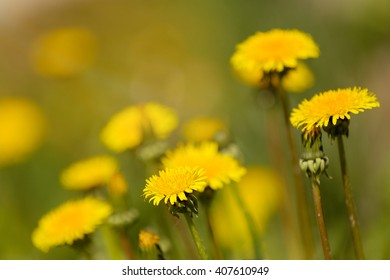 Yellow dandelion with shallow focus on a blurry green background