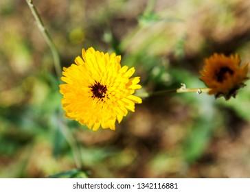 Yellow Dandelion in Spring