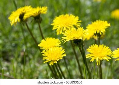 Yellow dandelion, Taraxacum officinale in bloom