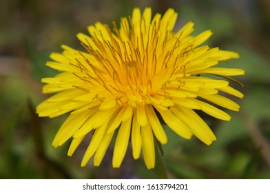 Yellow dandelion that bloomed all over the field