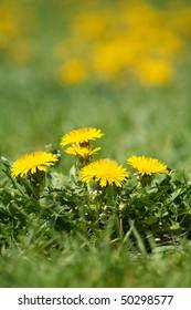 Yellow dandelion weeds in green lawn