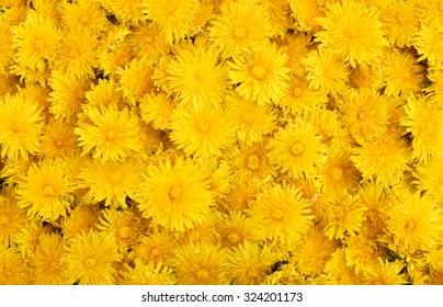 Yellow dandelions background