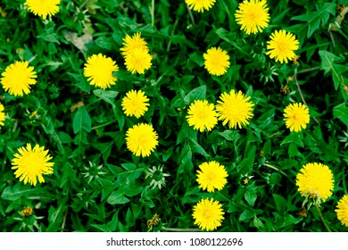 Yellow dandelions. Bright flowers dandelions on background of green spring meadows