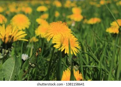 yellow dandelions in the field