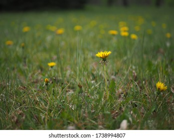 Yellow dandelions in the grass