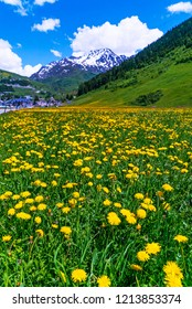 Yellow dandelions in green field in Switzerland