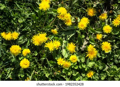 yellow dandelions on the background of grass - Shutterstock ID 1982352428
