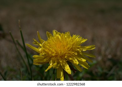 yellow dandelions on the grass in the garden