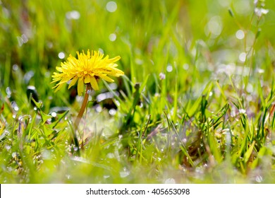 Yellow dandelions on a green field
