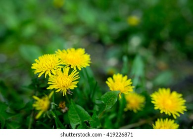 Yellow dandelions on the green field closeup in summer