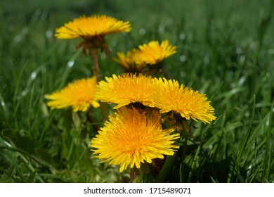 Yellow dandelions on the green meadow in the sunshine