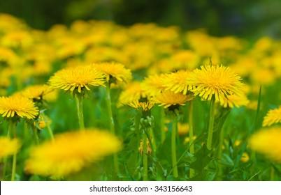 Yellow dandelions on green meadow in springtime