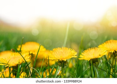 Yellow dandelions on sunny field spring flowers blossom