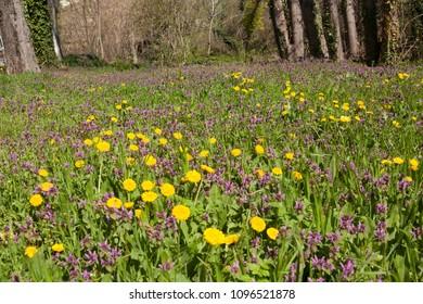 Yellow dandelions and snapdragon, latin name antirrtinum