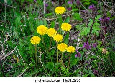 yellow dandellion to sping