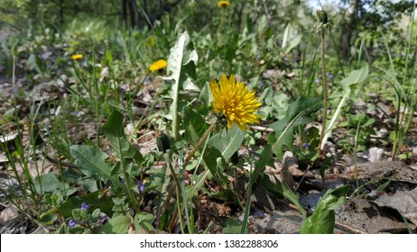 Yellow dandellion and spring grass