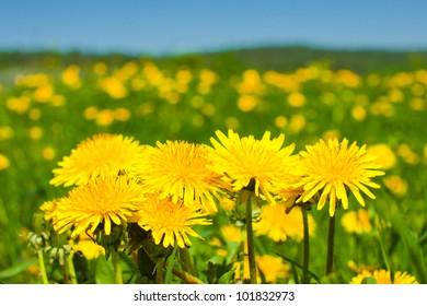 Yellow dandellions under blue sky