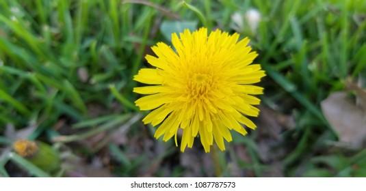 Yellow Dandilion close up